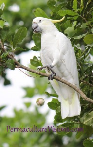 picture of cockatoo in our permaculture garden eating our macadamias - caught by surprise